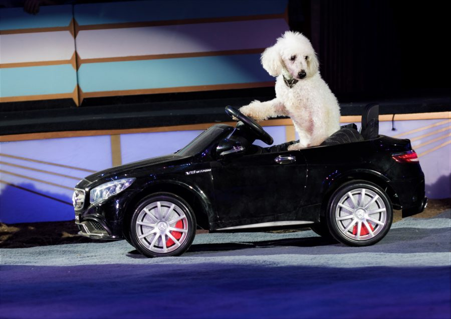 18 - Charlie, a beloved rescue dog, in BIG APPLE CIRCUS (c) Juliana Crawford