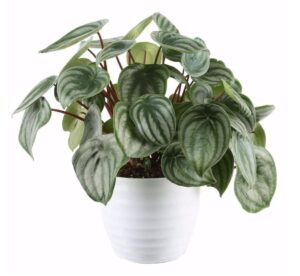 Costa Farms Trending Tropicals Watermelon Peperomia Plant